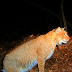 Night camera captures a Bobcat