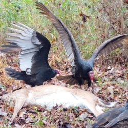 Trail Camera Shots: Vultures with prey