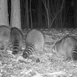 Trail Camera Shot: Raccoons at night