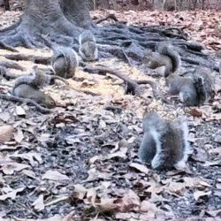 Group of Eastern grey squirrels