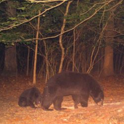 Trail Camera Shots: Black bear mother and cub