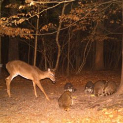 Trail Camera Shot: Deer and Racoons